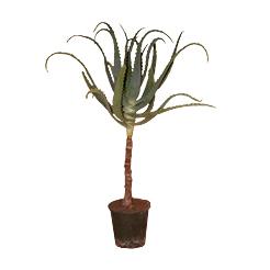 PLANT ALOE ARBORESCENS BIO 5 ANS